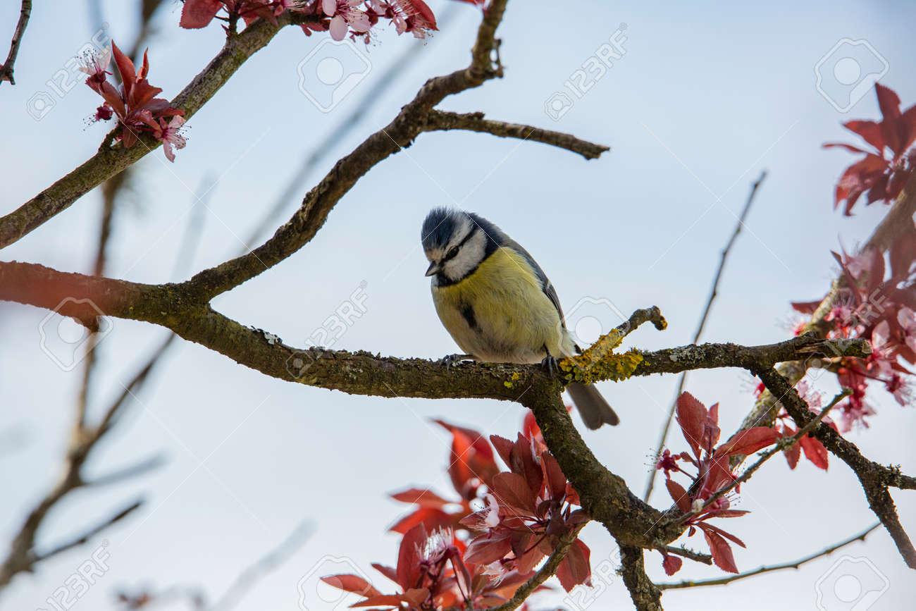 blue tit in garden spring time - 168268815