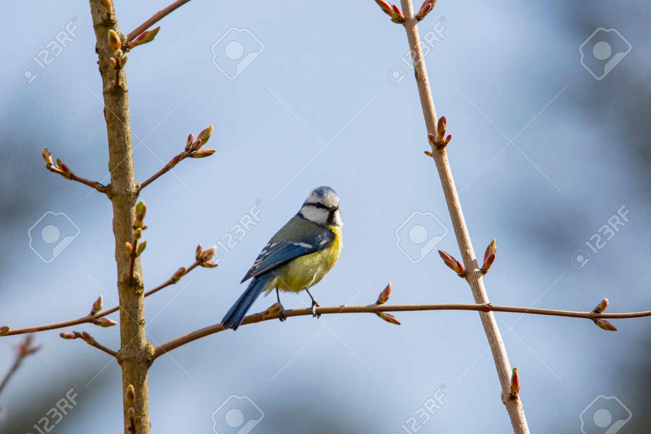 blue tit in garden spring time - 168268819