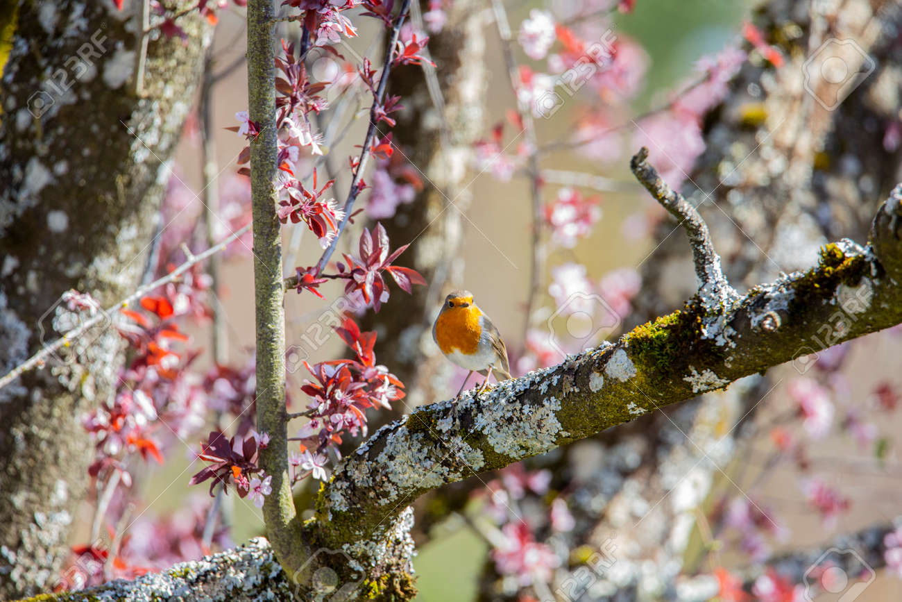 Red robin in the garden - 168268820