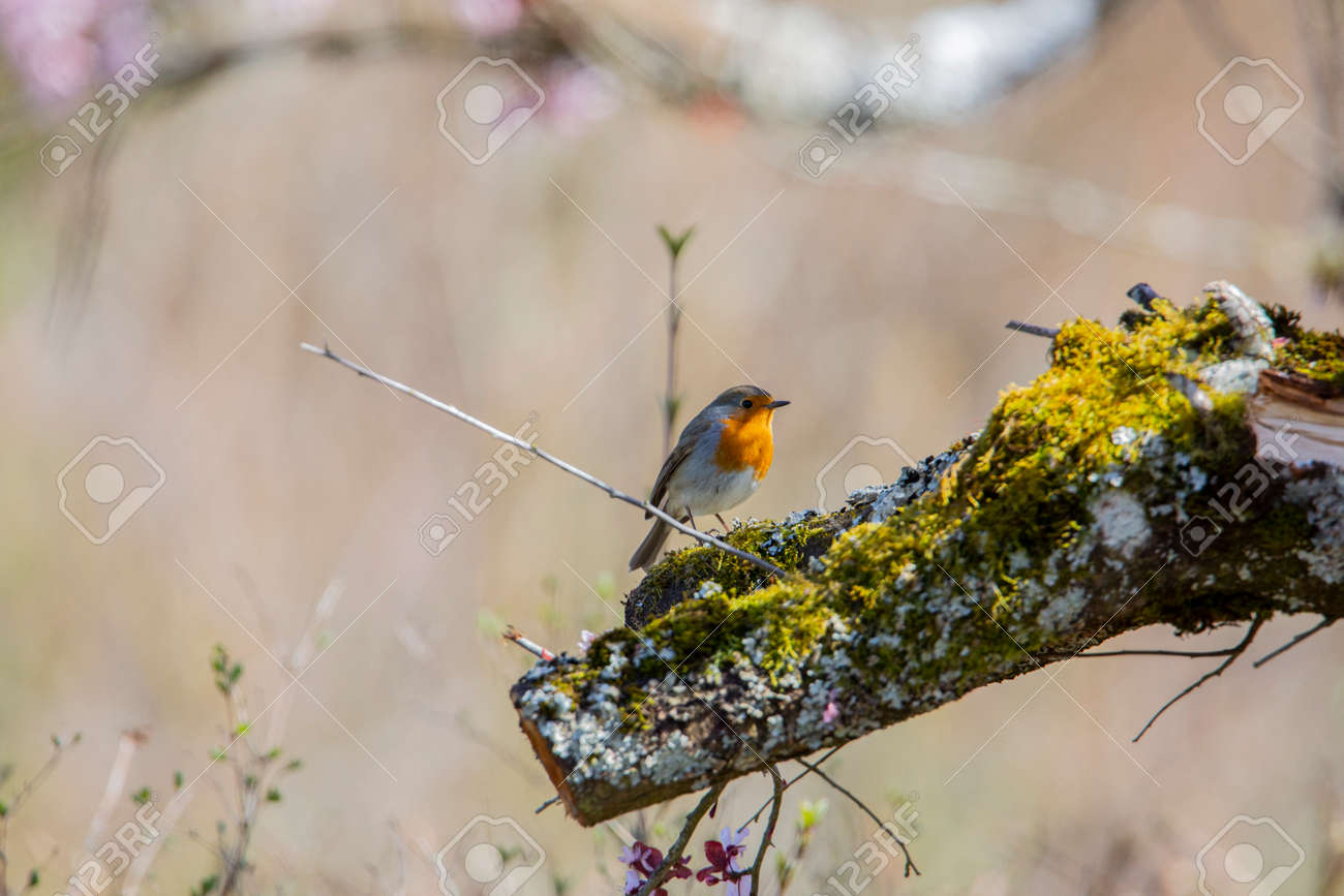 Red robin in the garden - 168268822
