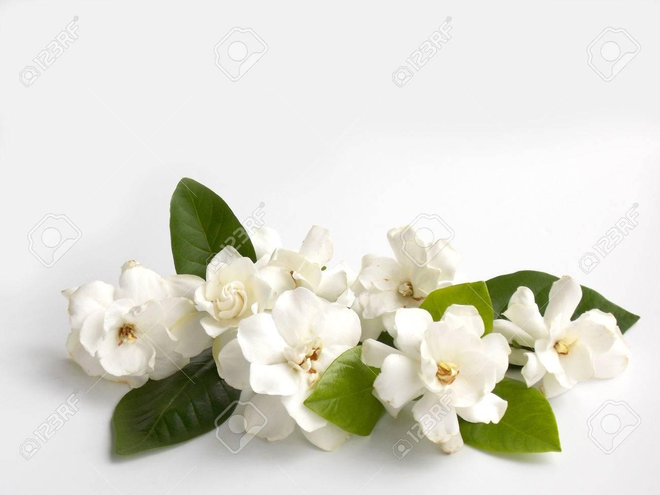 Beautiful white gardenia flower on white background stock photo beautiful white gardenia flower on white background stock photo 59057474 mightylinksfo