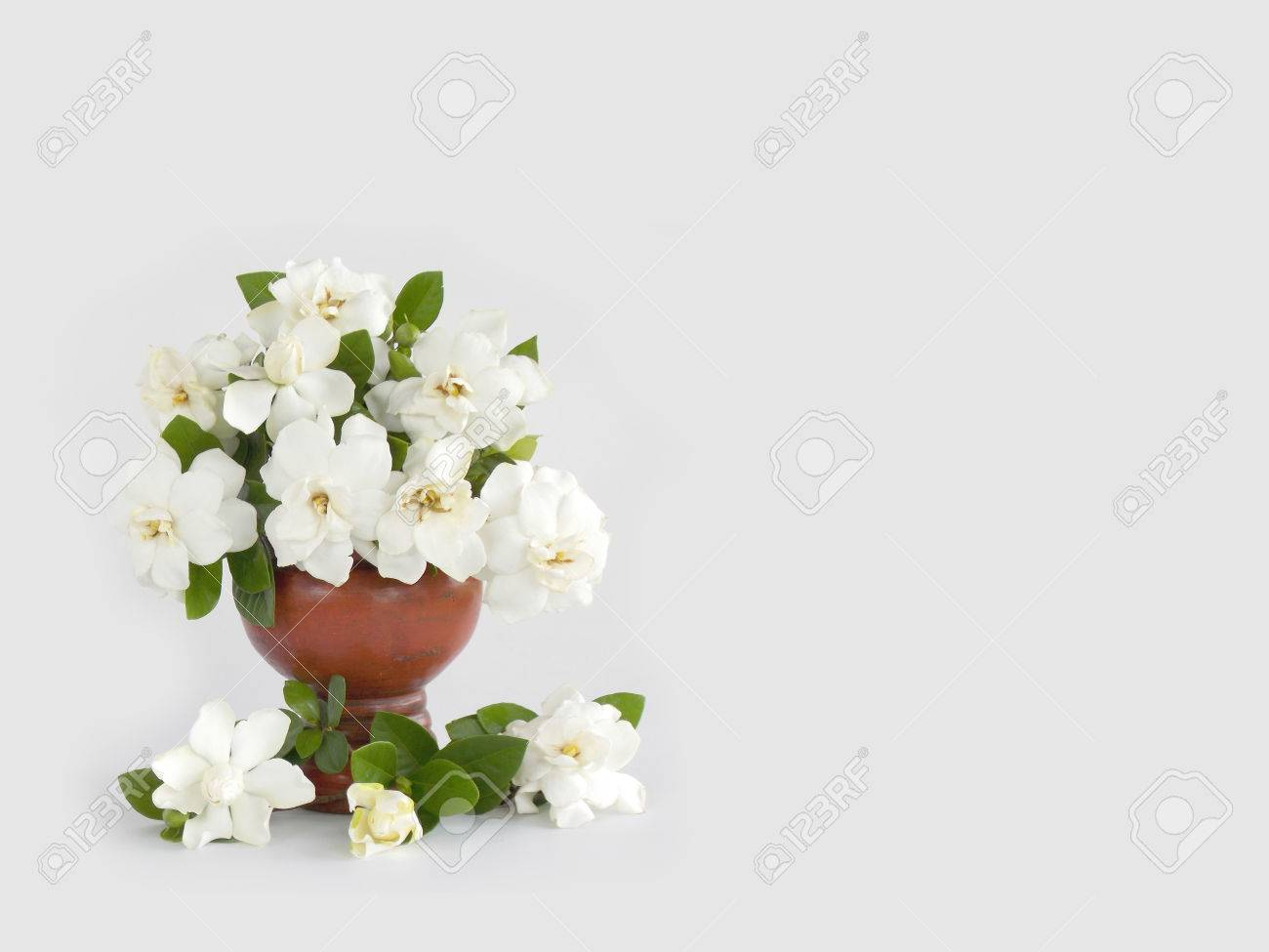 Beautiful White Gardenia Flower Background Stock Photo, Picture And ...
