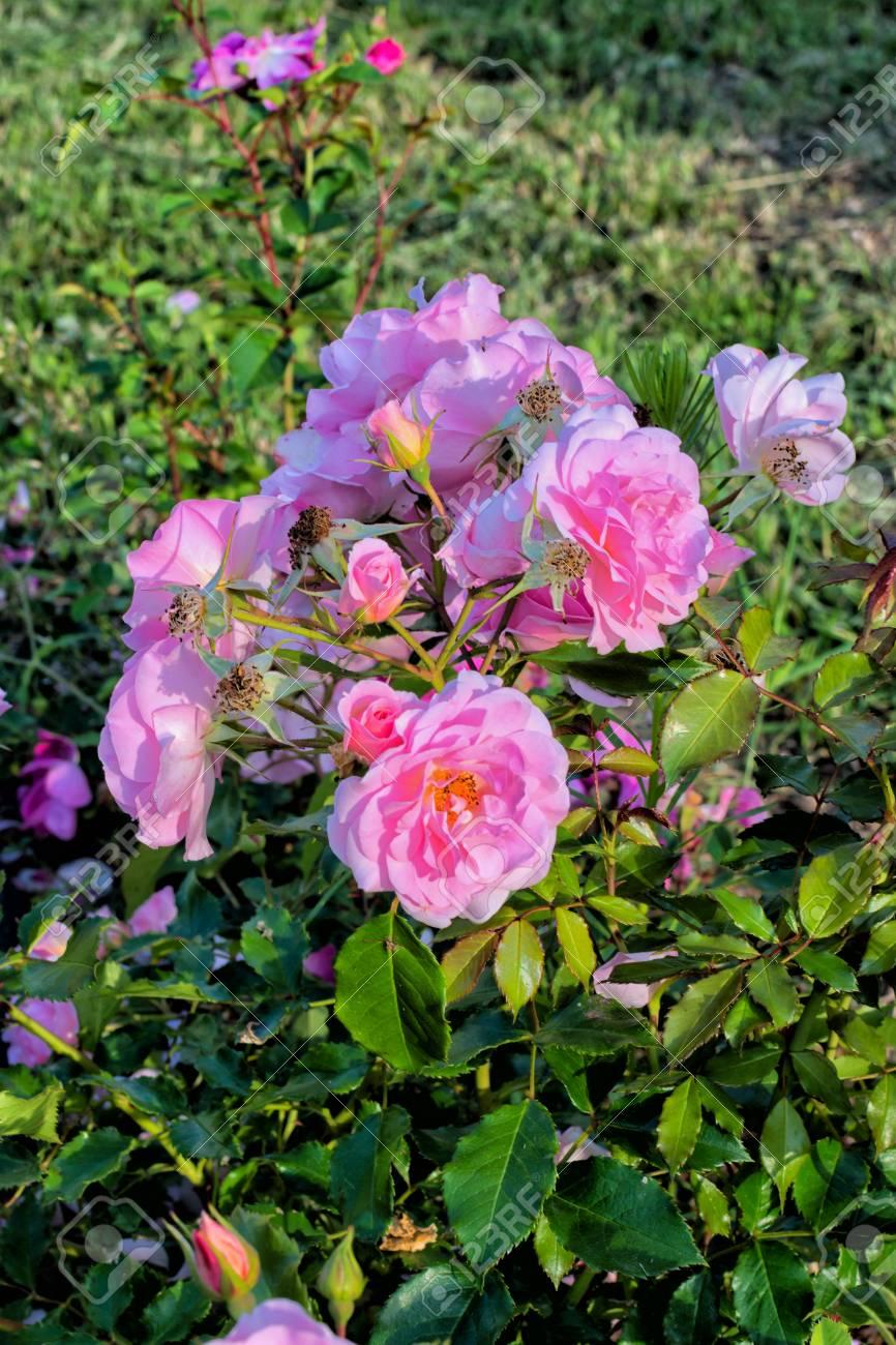 Beautiful pink flowers with green foliage garden roses unusual beautiful pink flowers with green foliage garden roses unusual background stock photo izmirmasajfo