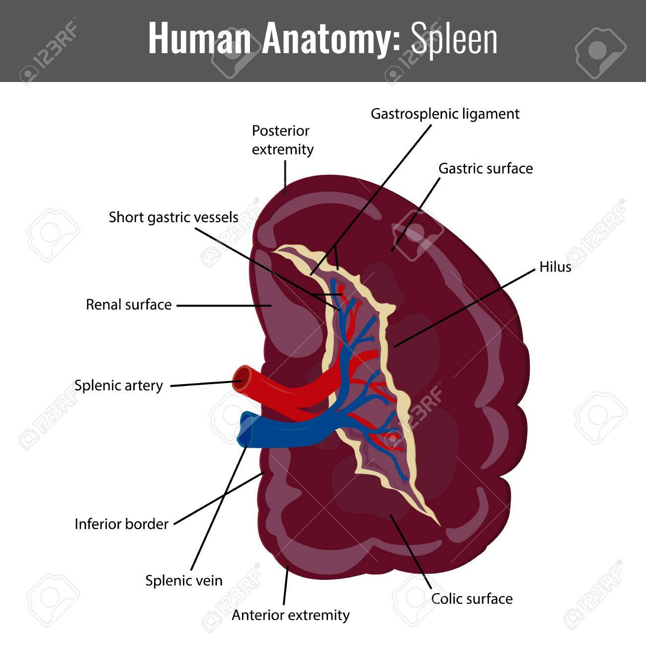 Human Spleen Detailed Anatomy. Vector Medical Illustration. Royalty ...