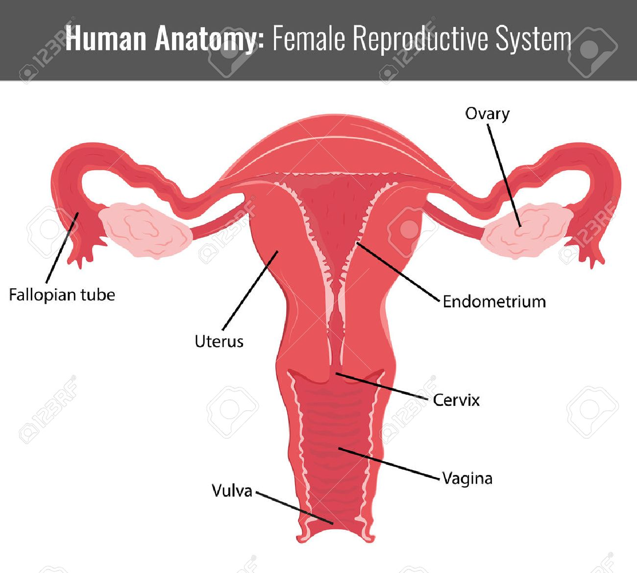 Female Reproductive System Detailed Anatomy. Vector Medical ...