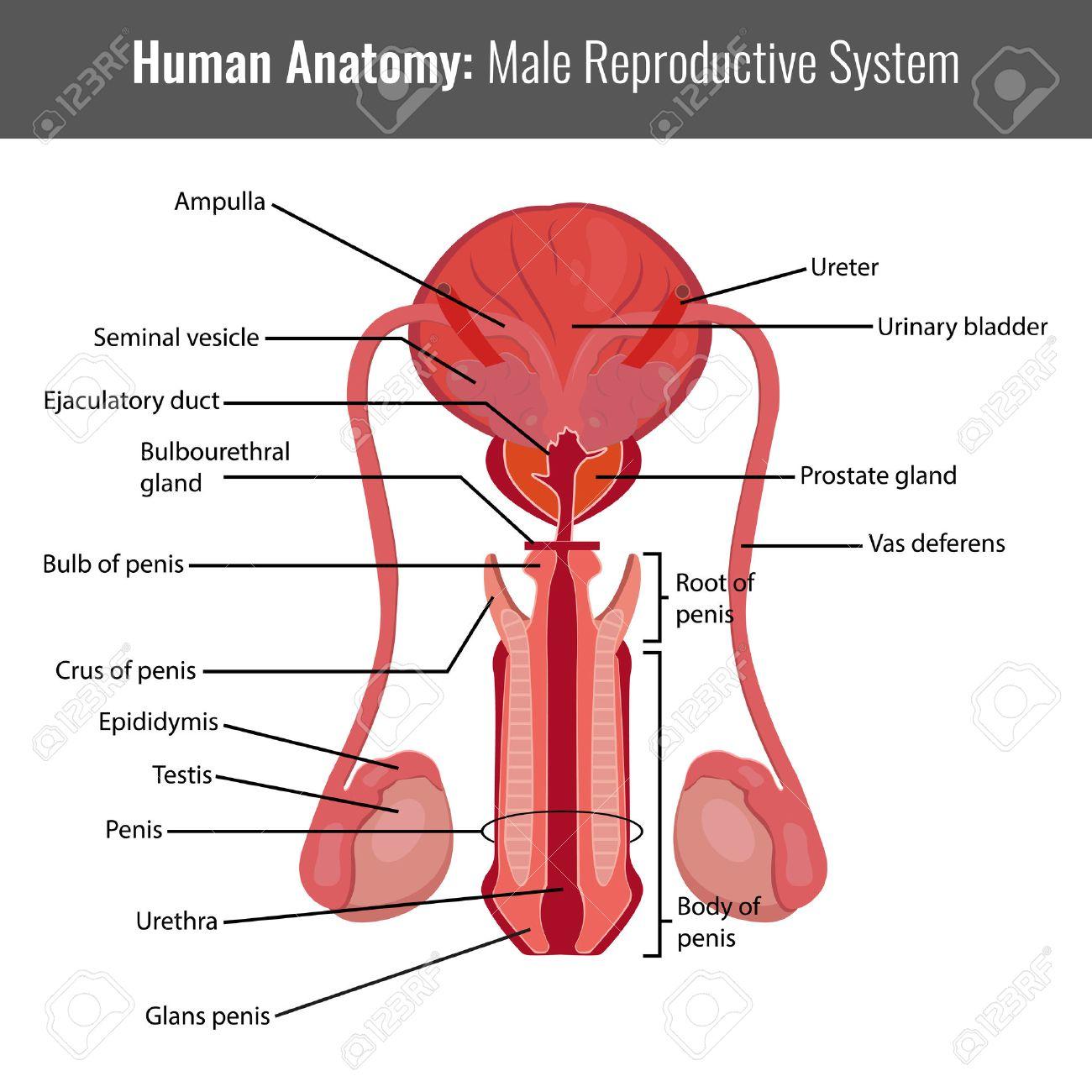 Ausgezeichnet Männliche Fortpflanzungssystem Anatomie Und ...