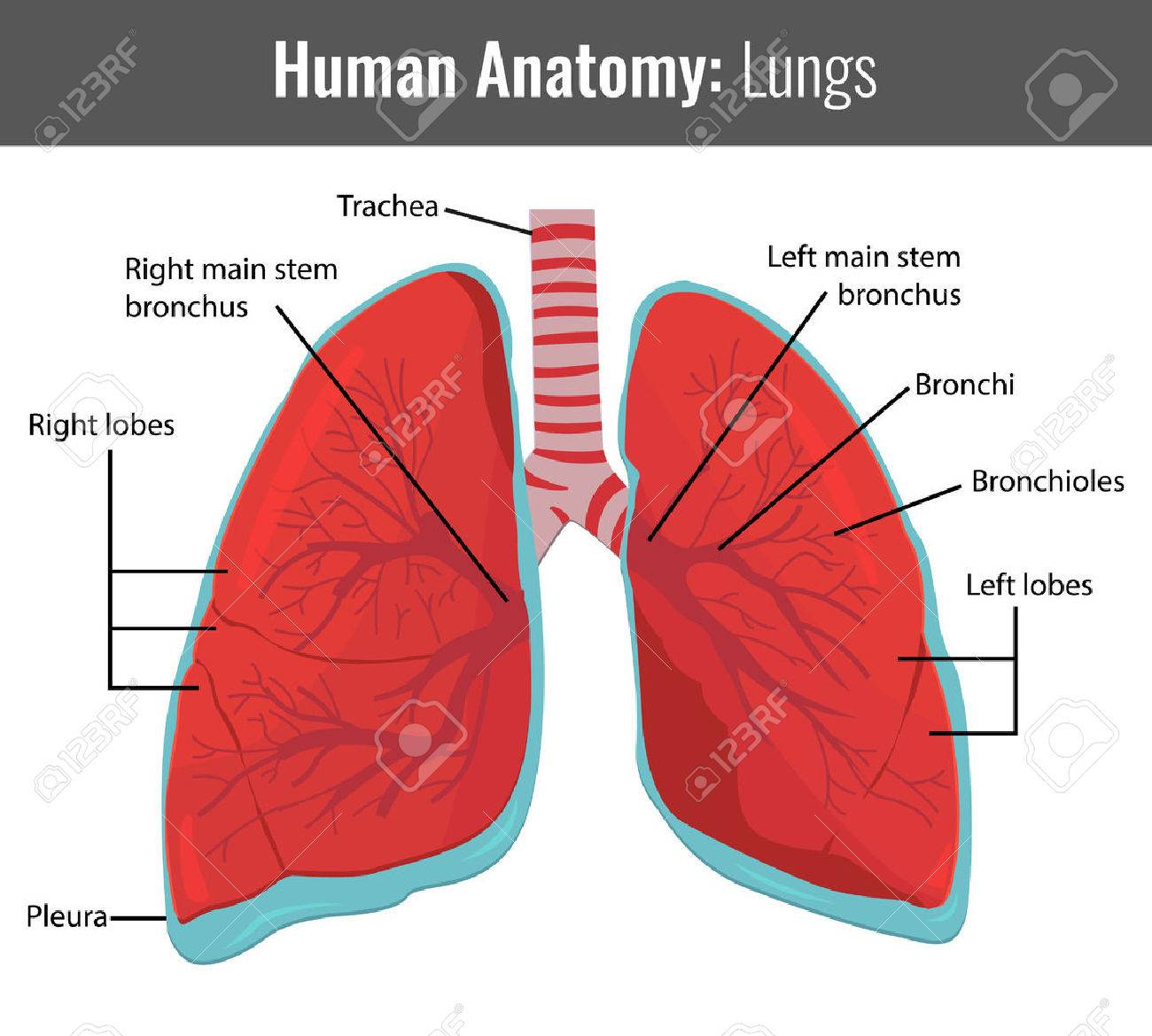 Human Lungs Detailed Anatomy. Vector Medical Illustration. Royalty ...