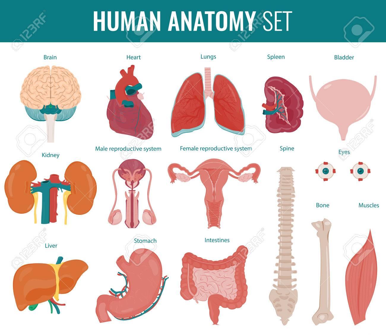 Human Internal Organs. Anatomy Set. Vector Royalty Free Cliparts ...