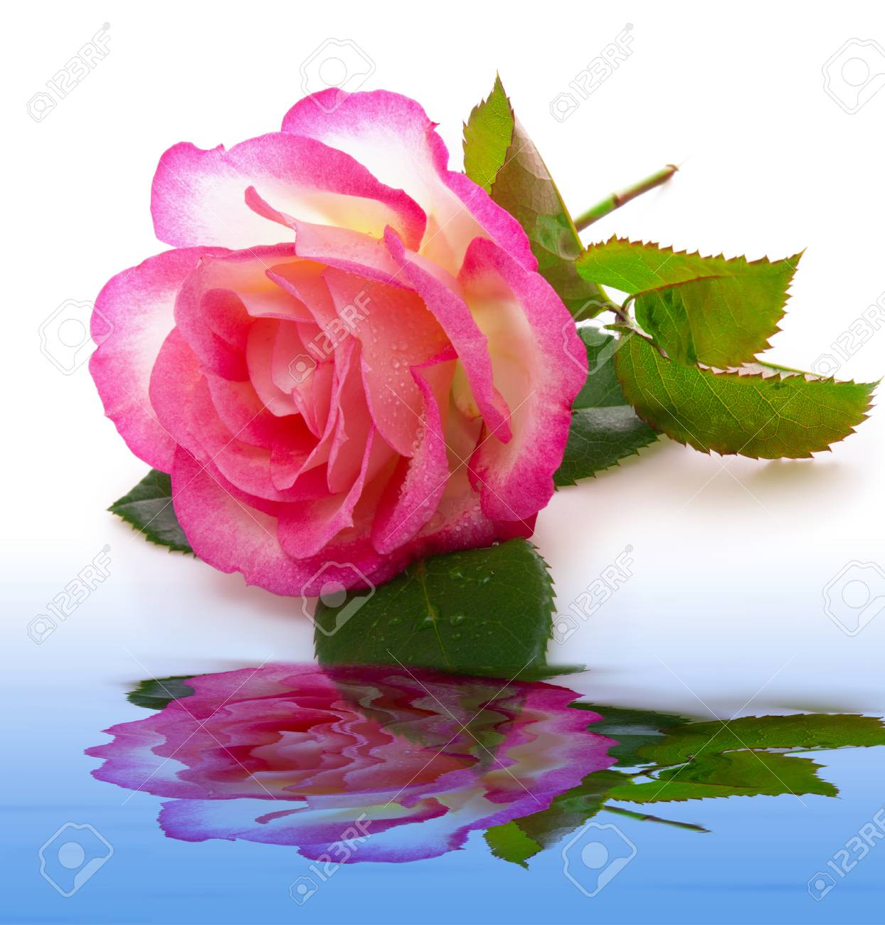 Rose Rose Et De Réflexion De L\'eau Isolé Sur Background.Pink Rose ...