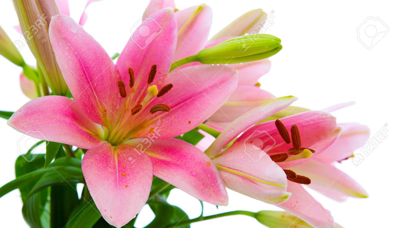 Pink Lily Flowers Isolated On White Background Stock Photo Picture