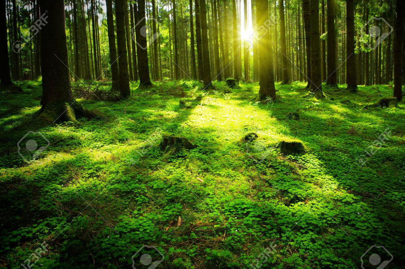 Beautiful nature at morning in the misty summer forest with sun rays. - 46786276