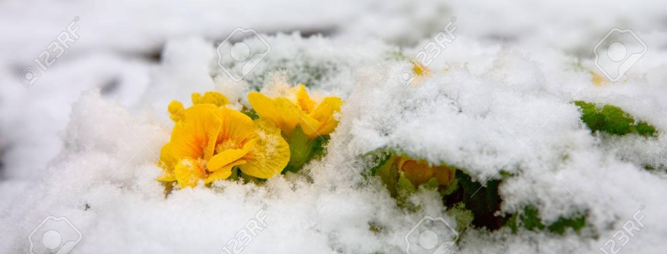 Bluhende Gelbe Primel Blumen Im Schnee Gelbe Bluten Auf Weissem