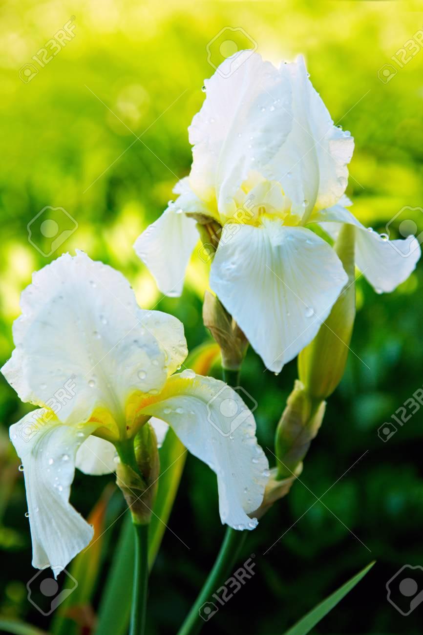 Iris flower in spring sunny day selective focuswhite iris flowers iris flower in spring sunny day selective focuswhite iris flowers in the garden izmirmasajfo