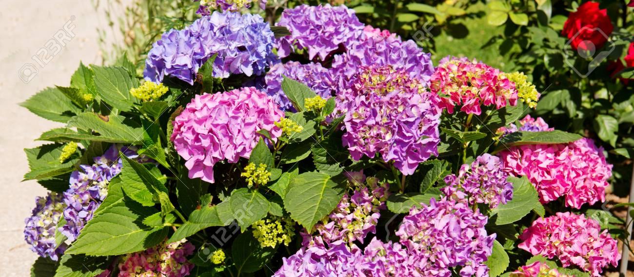 Fleur d\'hortensia pourpre dans le jardin d\'été. Fleurs poussant dans le  jardin.