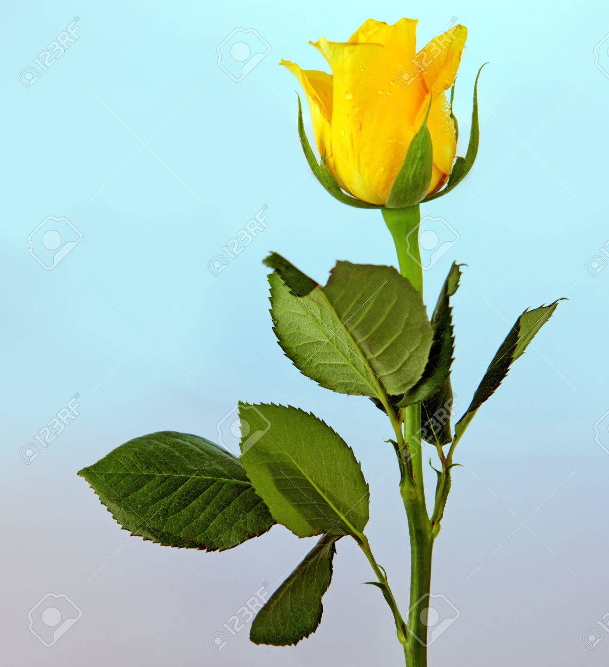 Single Yellow Rose Isolated On Blue Background Stock Photo Picture