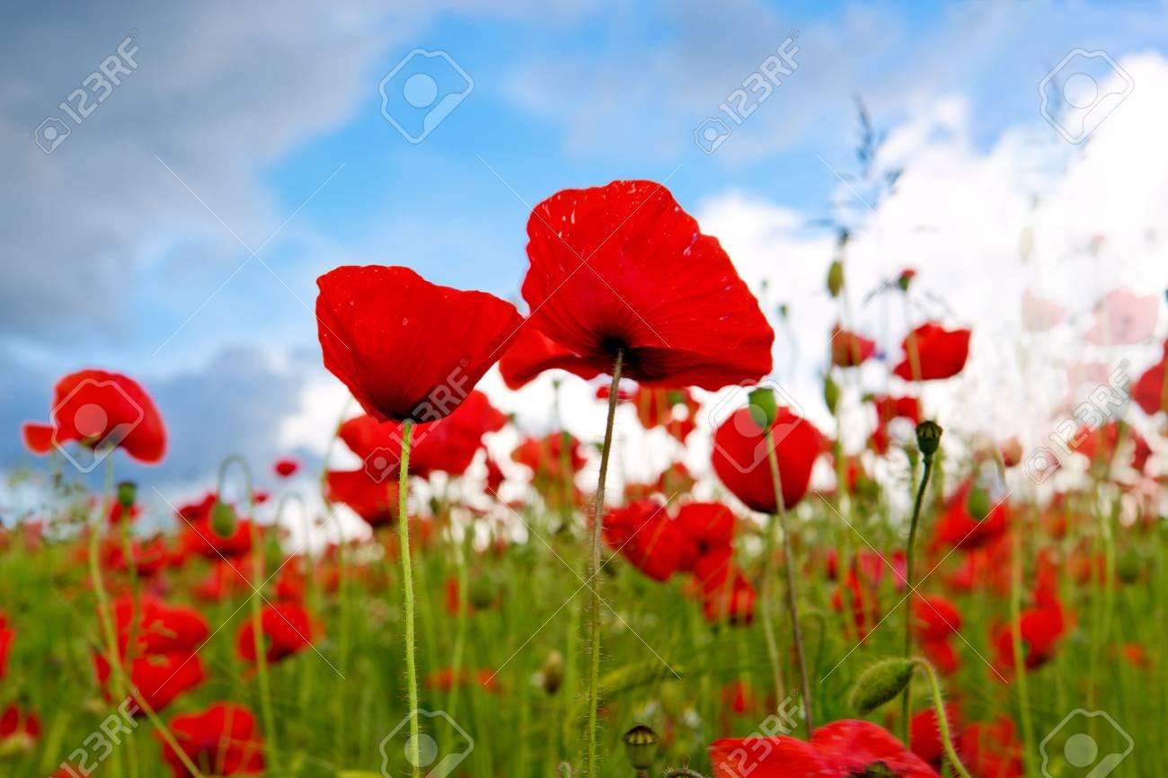 青空に赤いケシの花。グリーン ...