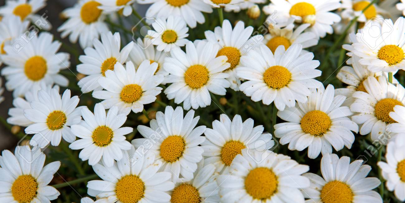 Daisy flowers backgroundcro of beautiful white daisies flowers daisy flowers backgroundcro of beautiful white daisies flowers stock photo 72916568 izmirmasajfo Gallery