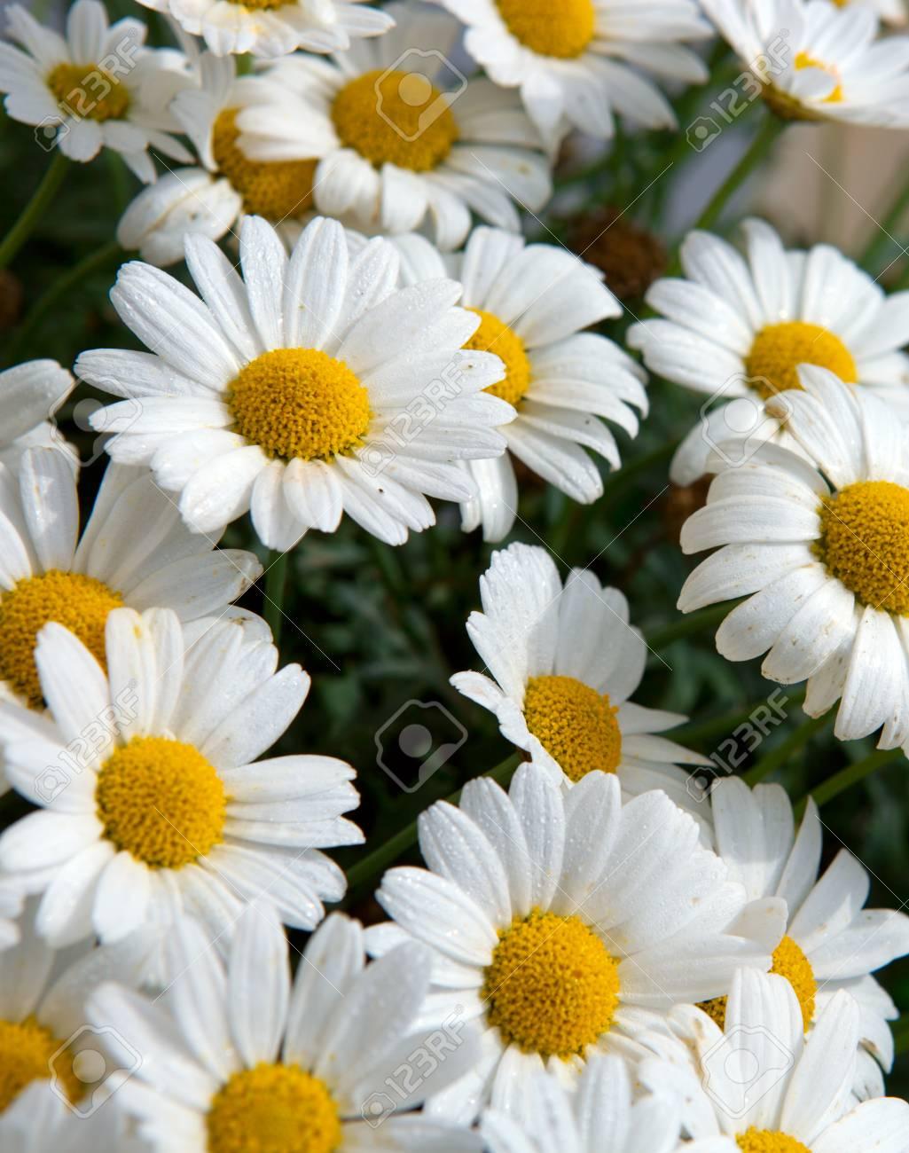 Daisy Flowers Backgroundmacro Of Beautiful White Daisies Flowers