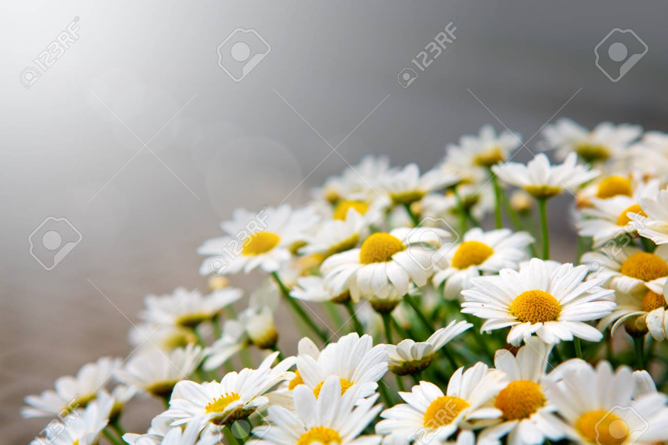 Daisy Flowers Backgroundcro Of Beautiful White Daisies Flowers
