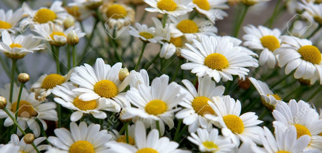 Daisy flowers backgroundcro of beautiful white daisies flowers daisy flowers backgroundcro of beautiful white daisies flowers stock photo 73791398 izmirmasajfo