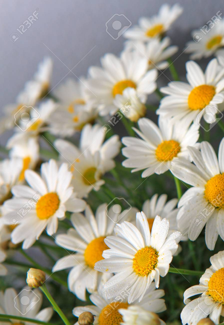 White daisies flowers in bright sun light stock photo picture and stock photo white daisies flowers in bright sun light izmirmasajfo