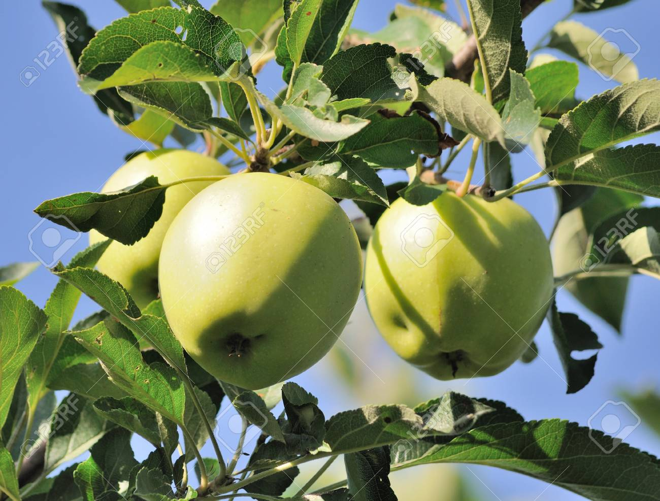 Green apples on a branch - 7687866