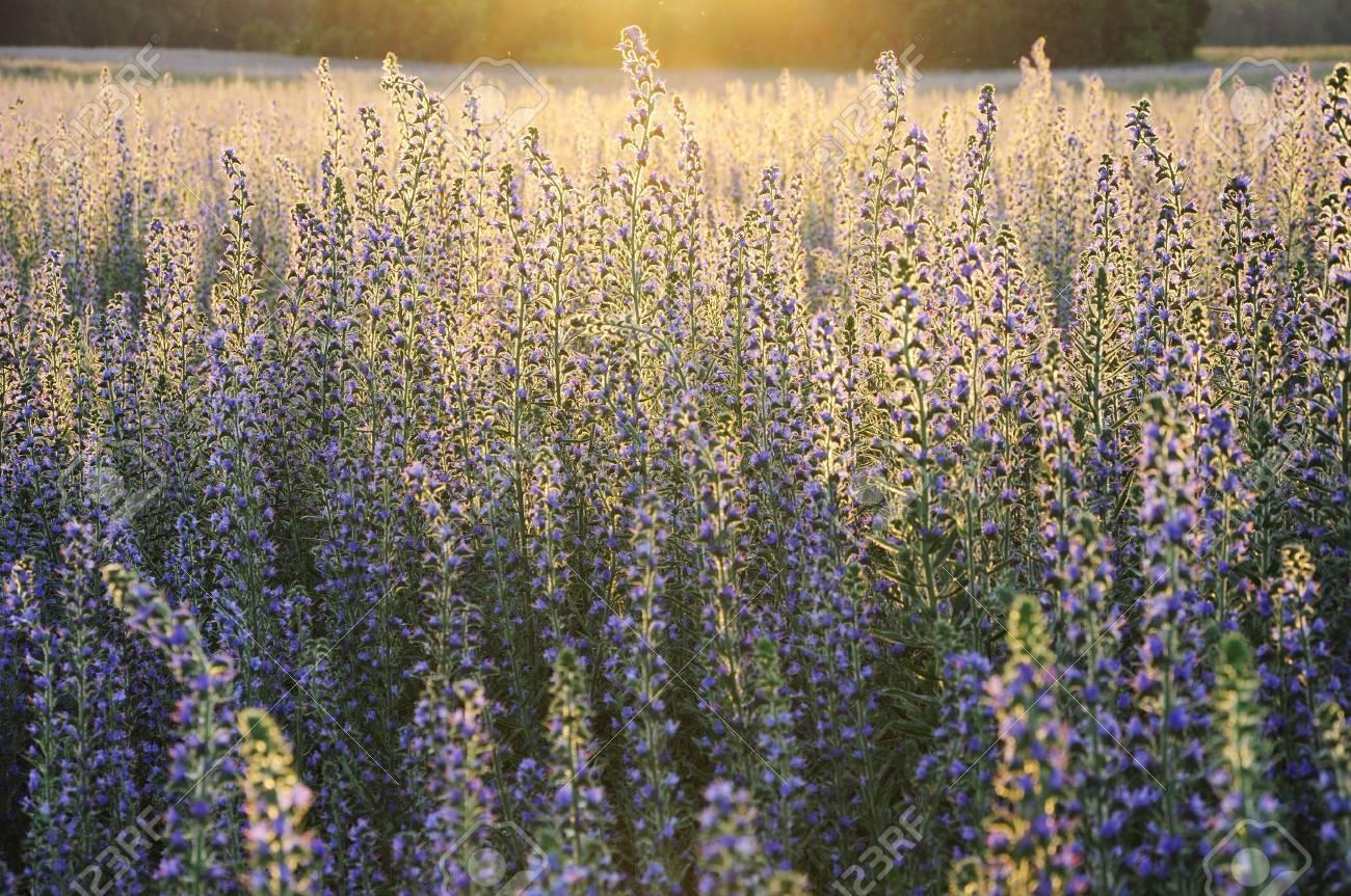 Field of flowers in evening sunlight - 7687870
