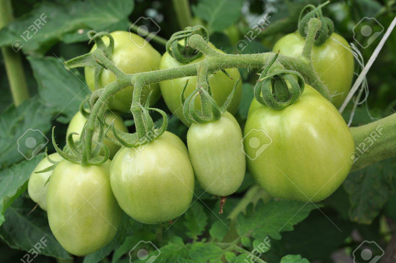green tomatoes growing on a branch - 10193277