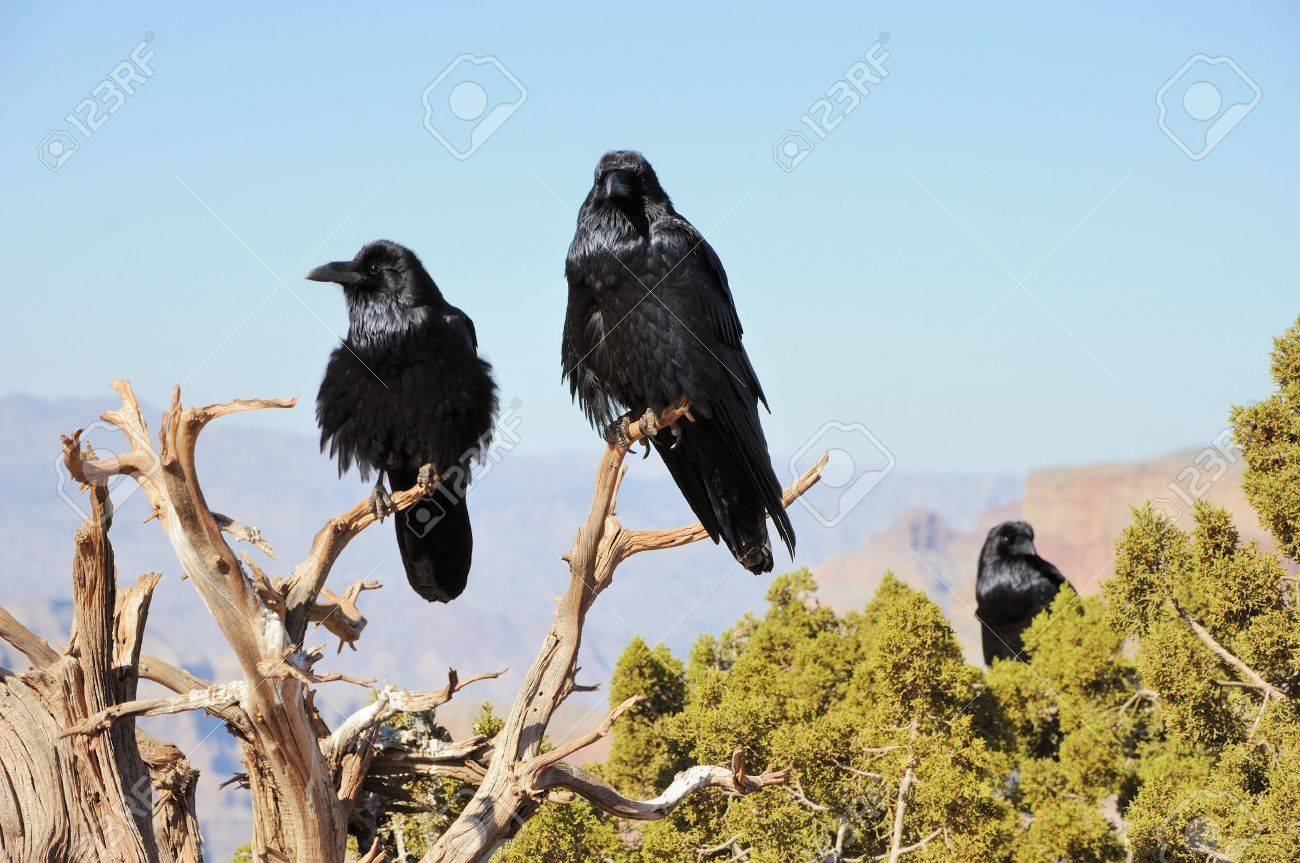 three big crows sitting on the juniper branch and mountains far behind - 11385075