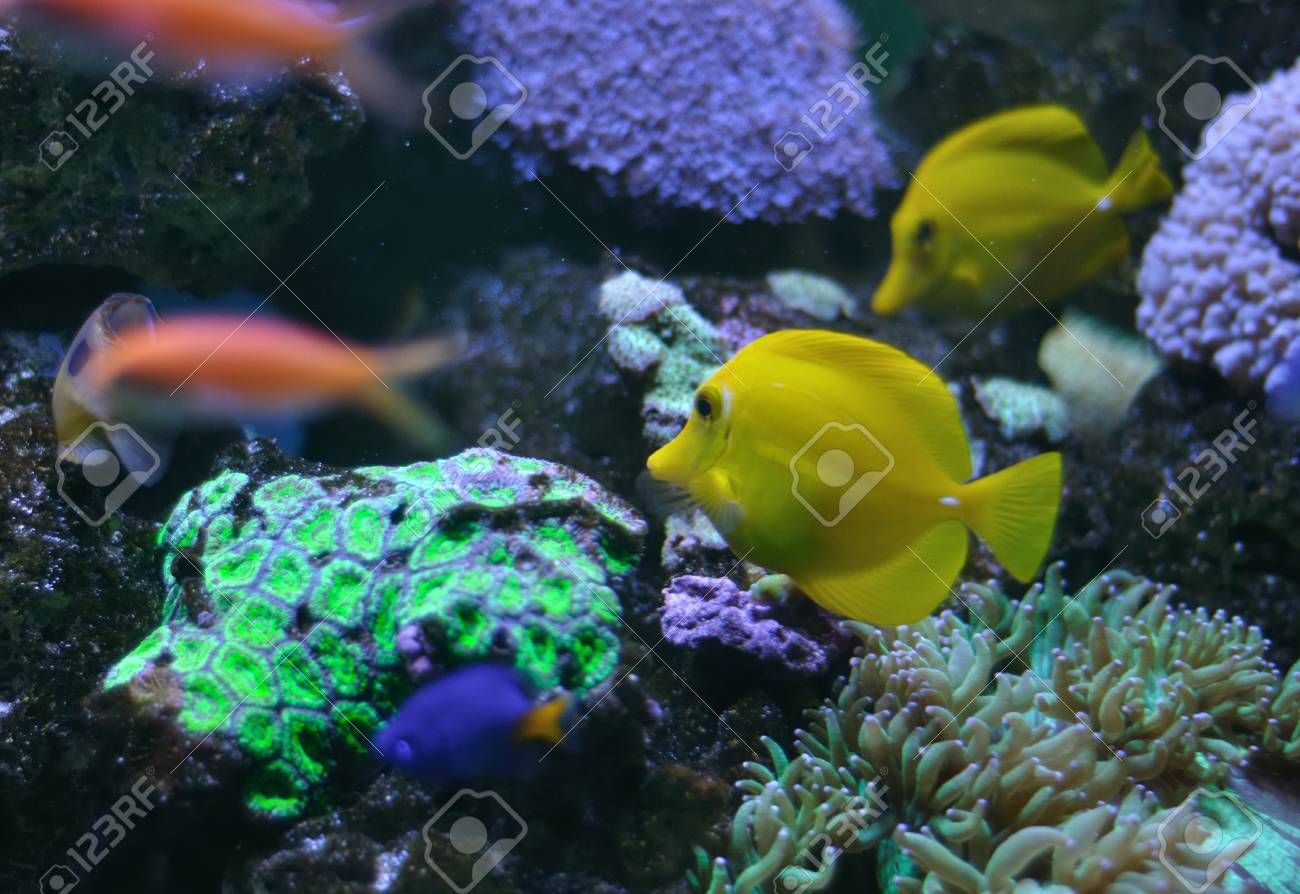 ropical yellow tang on a coral reef Stock Photo - 18534412