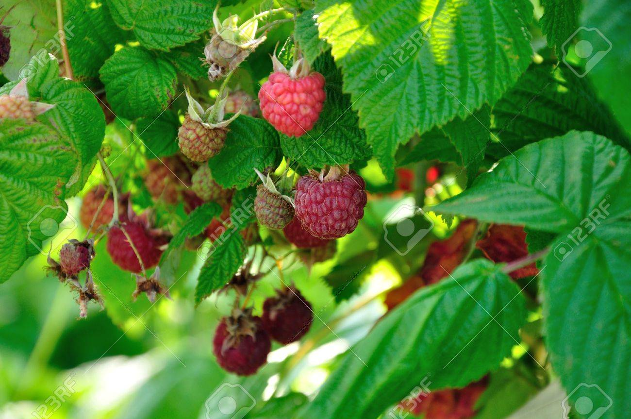 a lot of red raspberries on a bush - 21266879