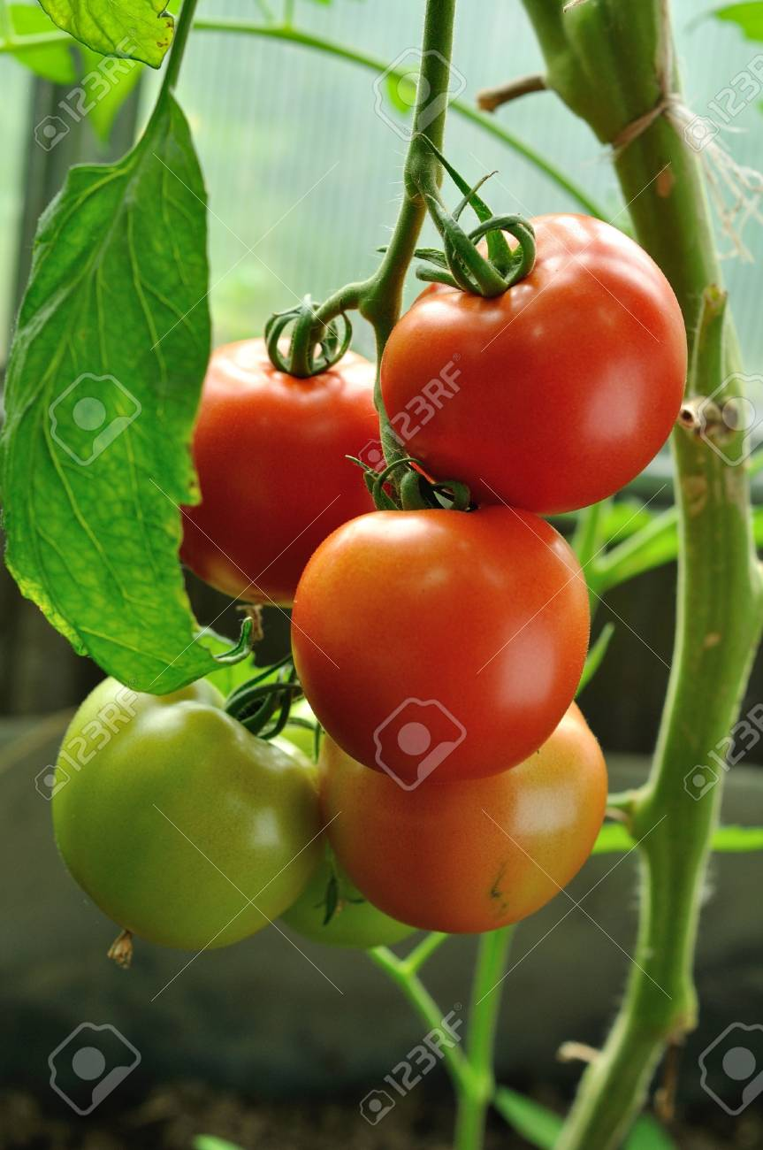 branch of red tomatoes with ripe and unripe vegitables - 22178716