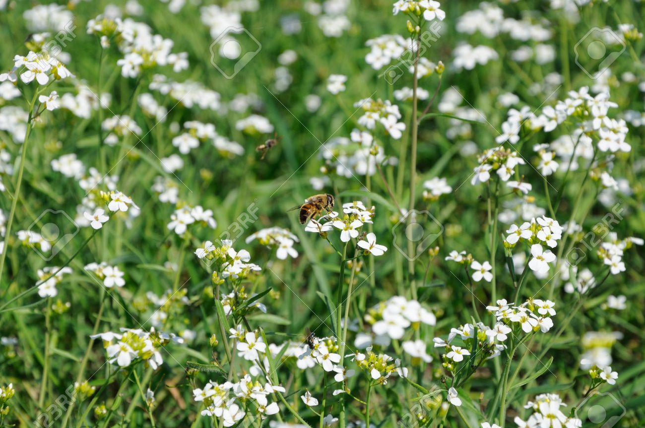 Bee On The Field Of White Flowers Stock Photo Picture And Royalty
