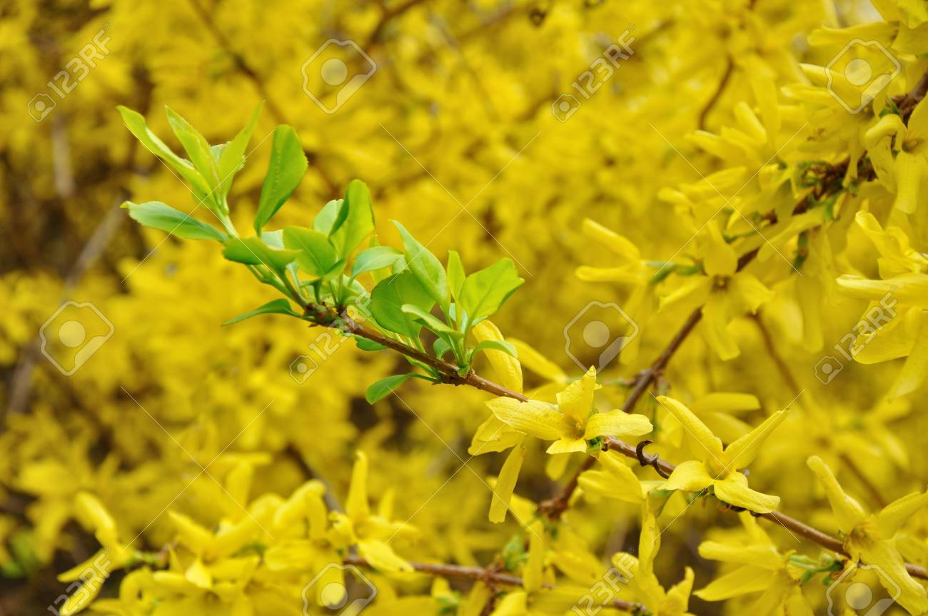 green leaves in the yellow blossom of Forsythia - 23084553
