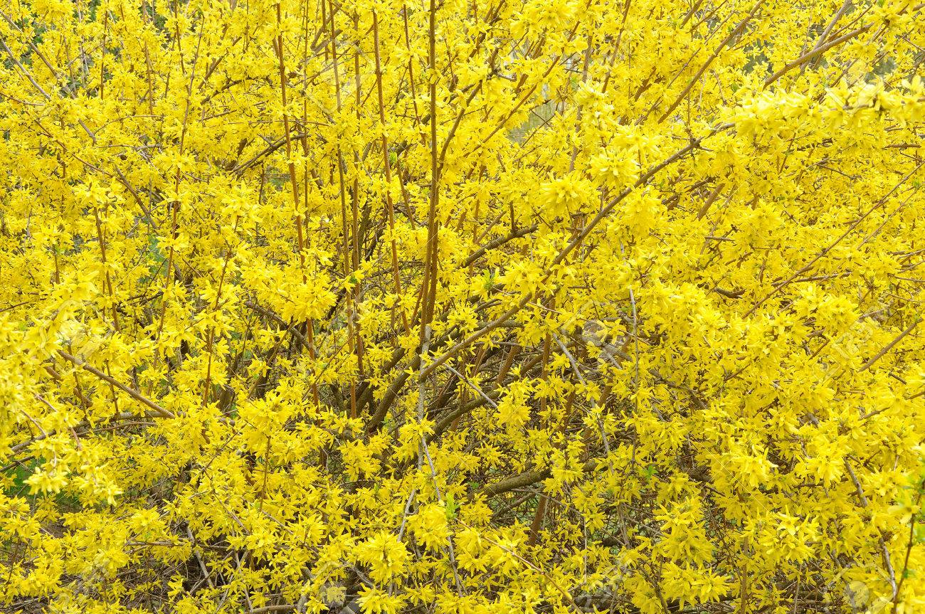 big yellow bush of Forsythia in blossom - 23084554