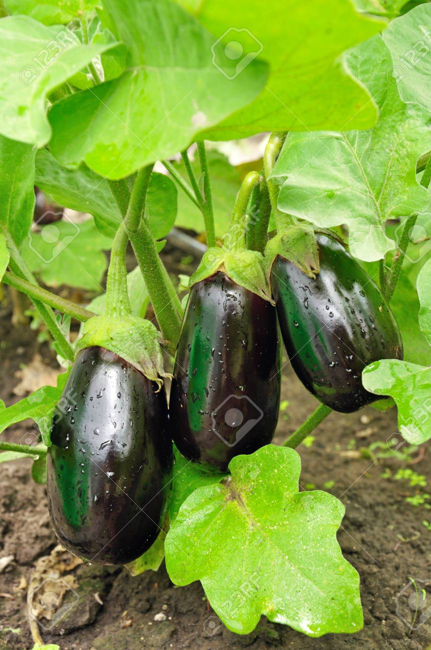 Three purple eggplants on the bush with water drops - 27780445