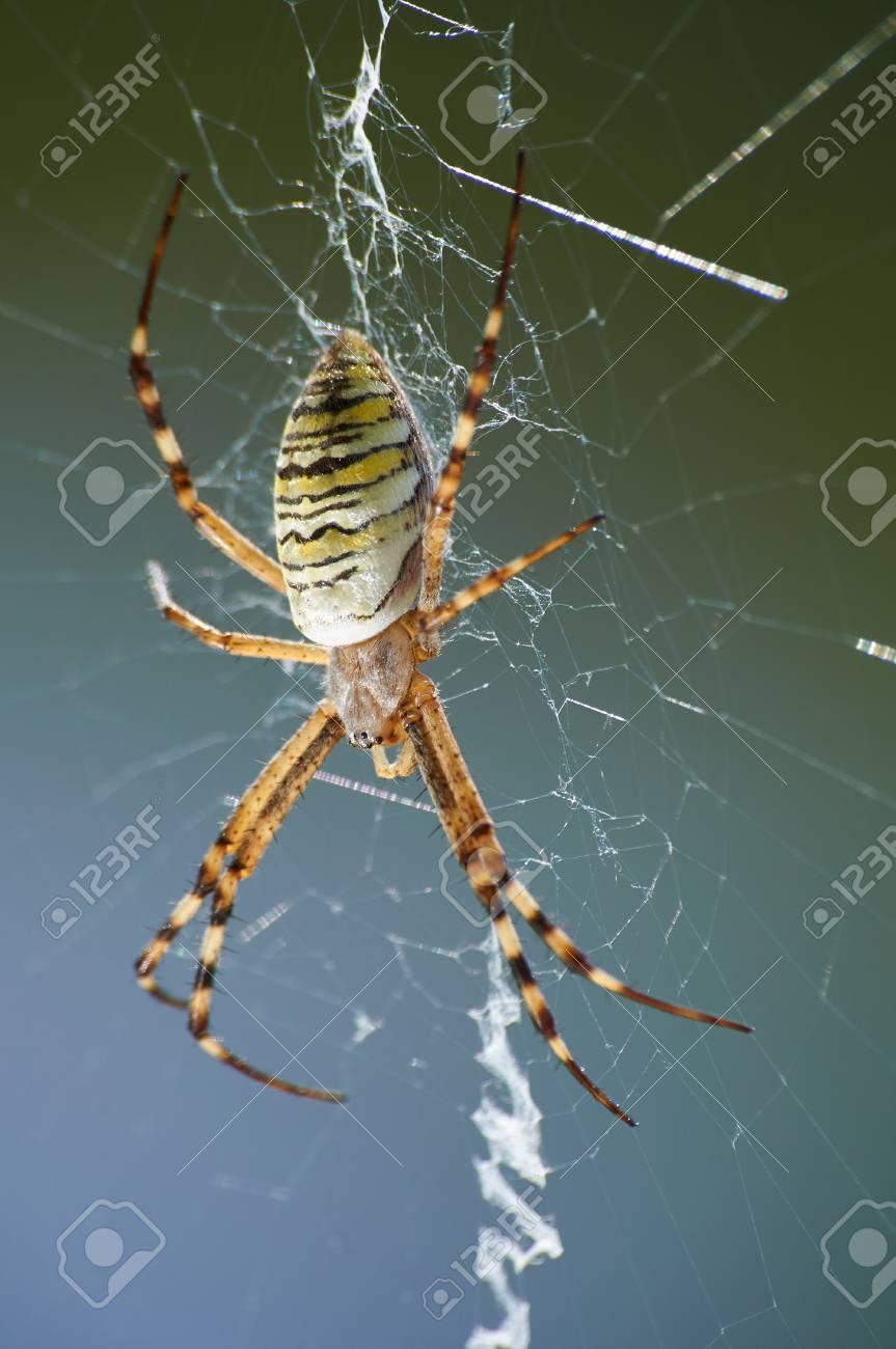 Banque d images - Photographie Gros plan des rayures guêpe araignée sur le  web 9231dd17c3d