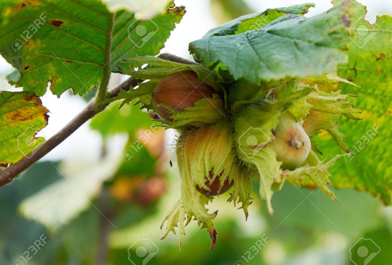 custer of huzelnuts on the tree growing - 86182854