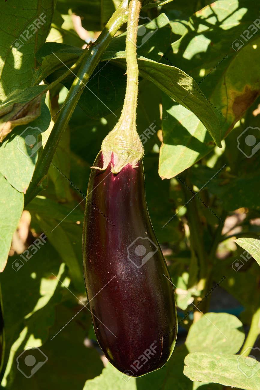 Long violet eggplant growing - 154539644