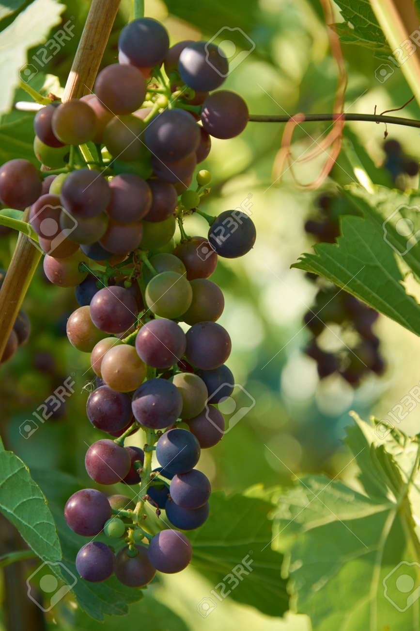 Different stages of ripening of wine grape. Clusters on the vine - 155906323