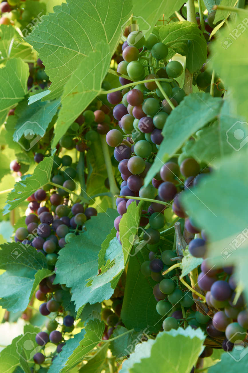 Different stages of ripening of wine grape. Clusters on the vine - 155906329