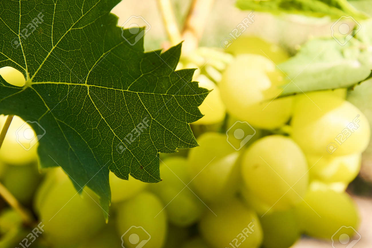 Grape leaf in front of cluster lit with sunlight - 155906331