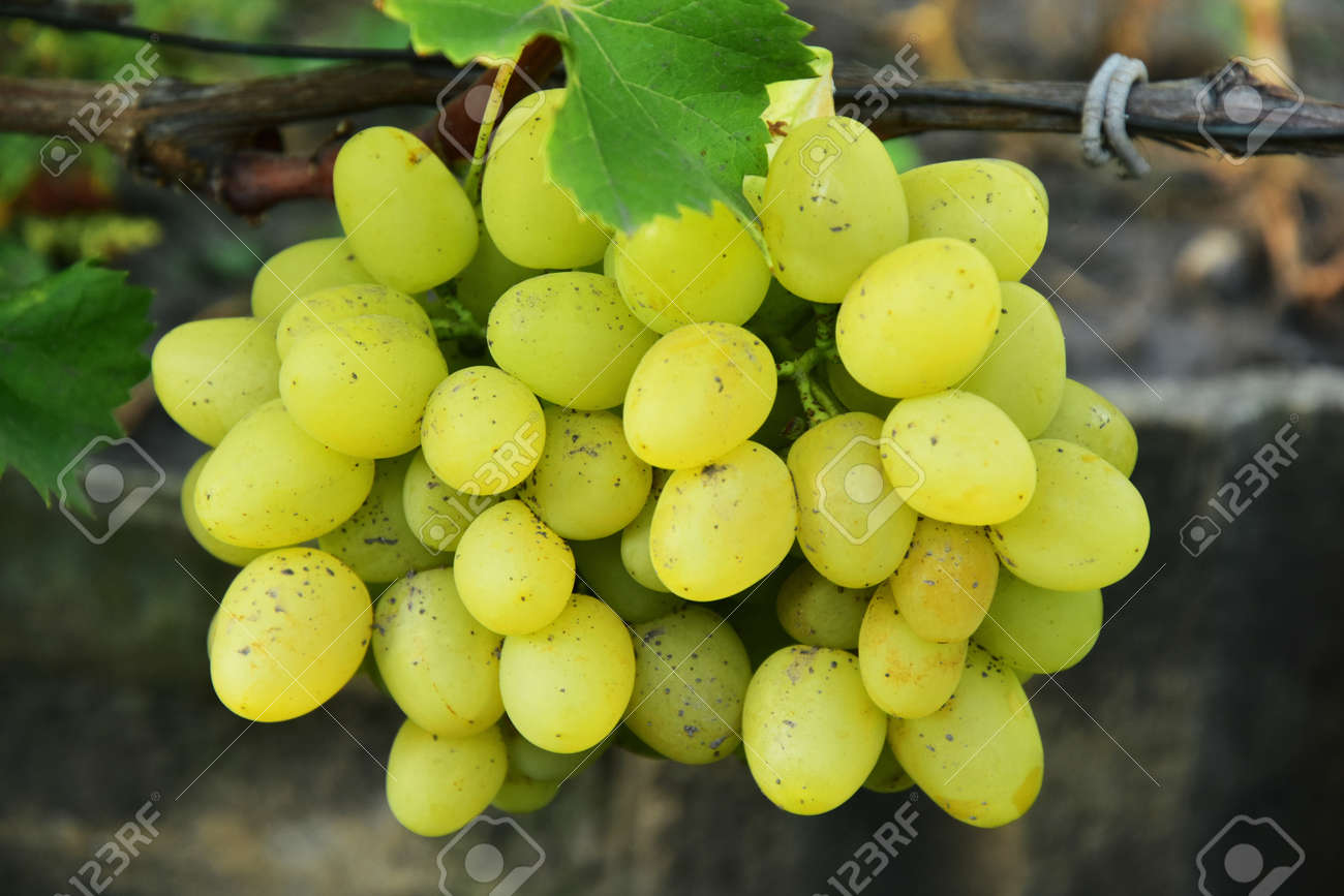 Clusters of ripe round shape green grape on the vine - 155462186