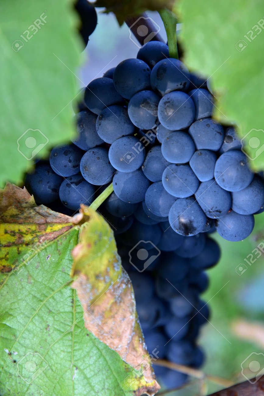 Clusters of ripe round shape deep blue wine sort of grape on the vine - 155906337