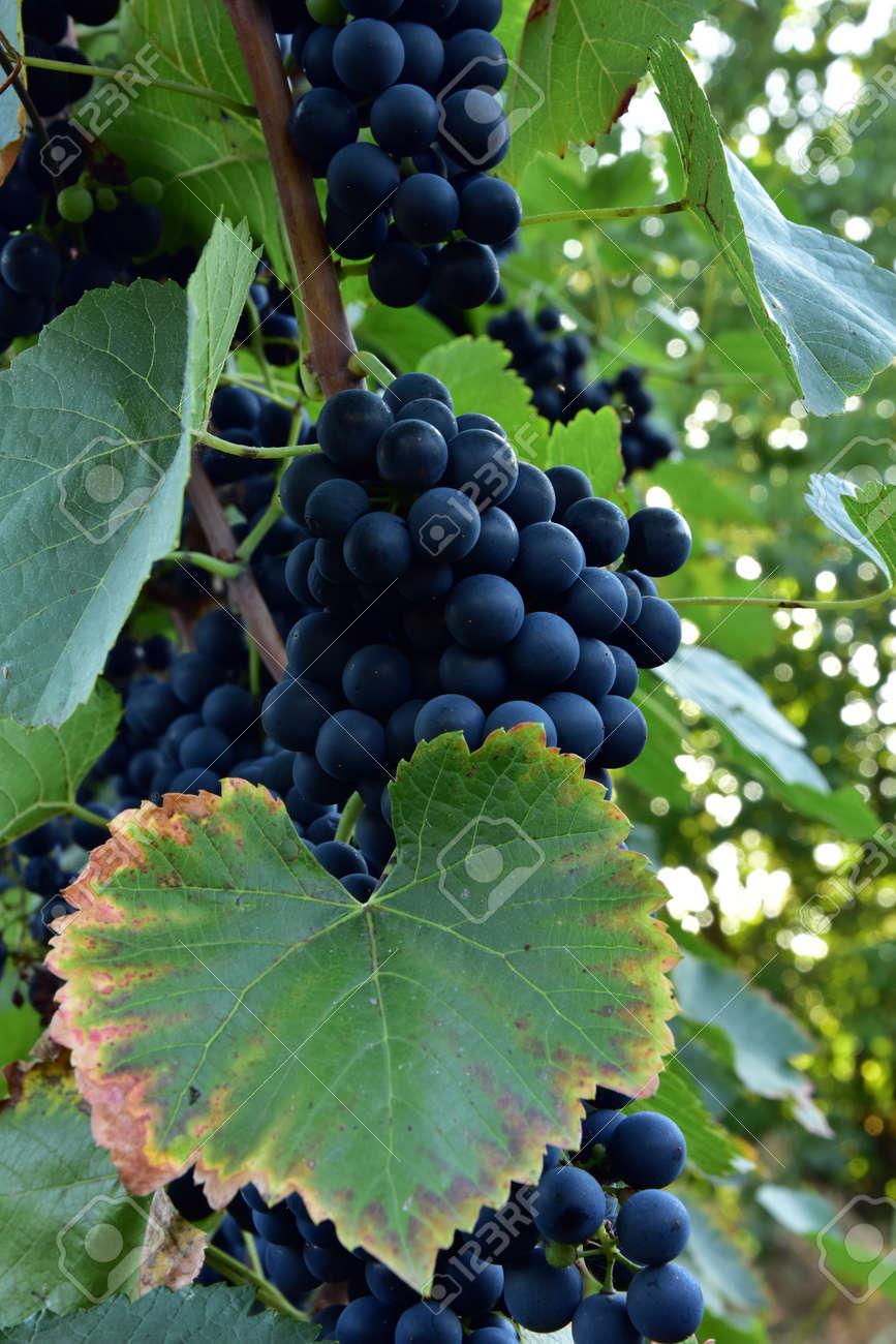 Clusters of ripe round shape deep blue wine sort of grape on the vine - 155906338