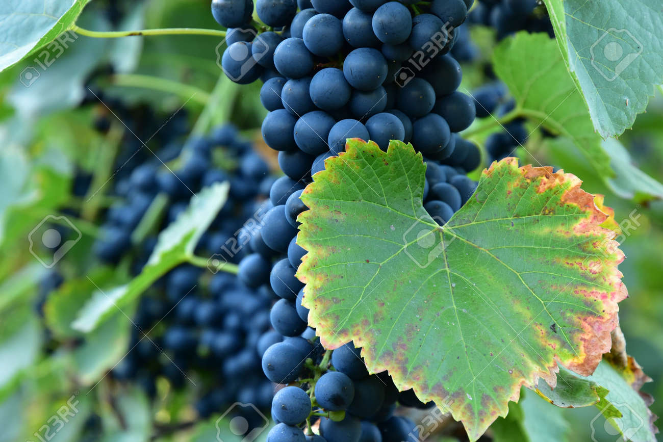 Clusters of ripe round shape deep blue wine sort of grape on the vine - 155463326