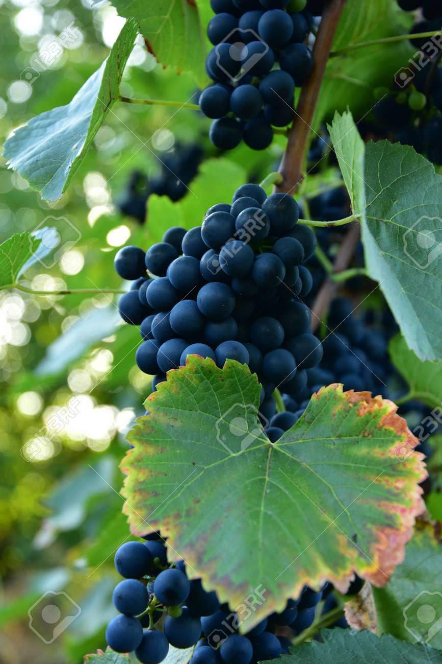 Clusters of ripe round shape deep blue wine sort of grape on the vine - 155462570