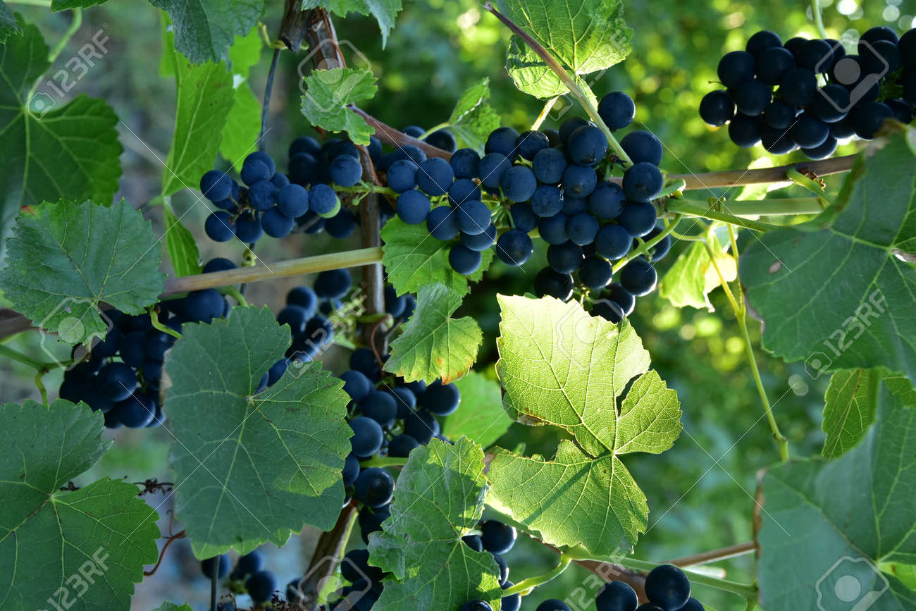 Clusters of ripe blue grape on the vine and sunlight going through the leaf - 155906339