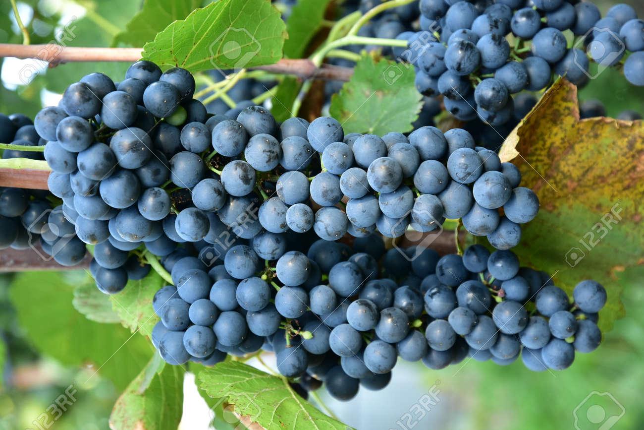 Clusters of ripe round shape deep blue wine sort of grape on the vine - 155463030