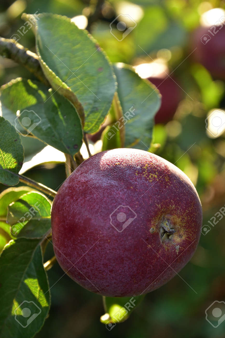 One red Autumn apple growing on the tree - 155906349